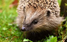 hedgehog-child-3070176__480